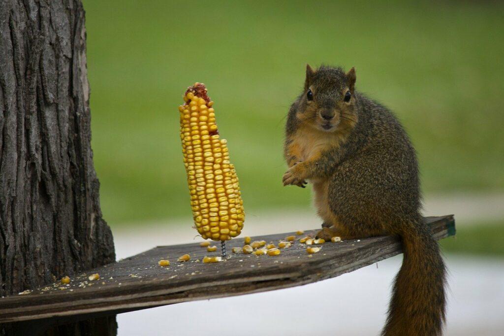 squirrel, corn, rodent