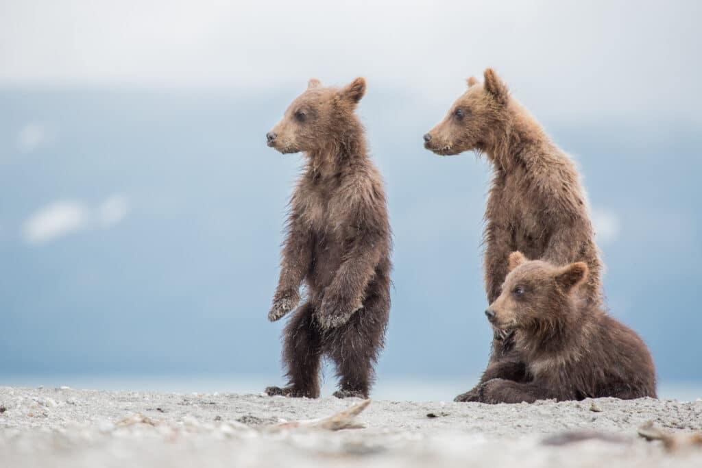Diese drei Bären wollen noch nicht mit einer Gute-Nacht-Geschichte einschlafen.